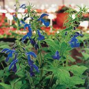 Blue Angel Salvia Seeds