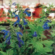 Blue Angel Salvia Seeds image