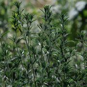 Summer Savory Seeds Alternate Image 1