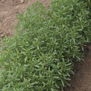 Summer Savory Seeds image