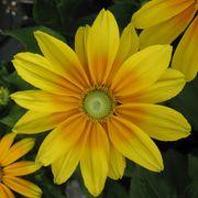 Prairie Sun Gloriosa Daisy Seeds image