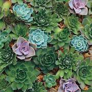 Hens & Chicks Hardy Succulent Blend Seeds image