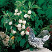 Easter Egg Plant Seeds