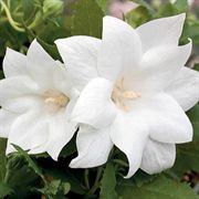 Astra Double White Balloon Flower Seeds