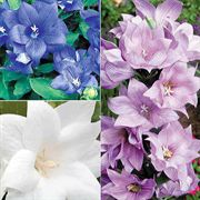 Astra Double Mix Balloon Flower Seeds image