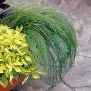 Ponytails Mexican Feather Grass Seeds (P) Pkt of 30 seeds image