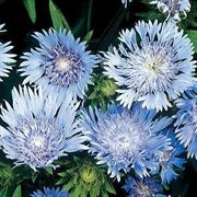 Blue Stokes's Aster Seeds image