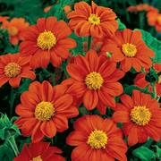 Fiesta del Sol Mexican Sunflower Seeds