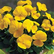 Penny Clear Yellow Viola Seeds