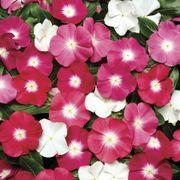 Pacifica Halo Mix Vinca Flower Seeds