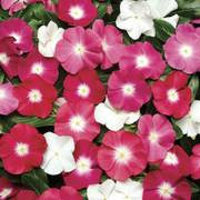 Pacifica Halo Mix Vinca Flower Seeds image