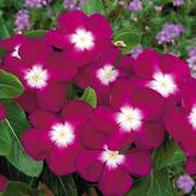 Pacifica Burgundy Halo Vinca Flower Seeds image