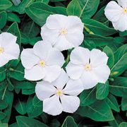Pacifica White Hybrid Vinca Flower Seeds image