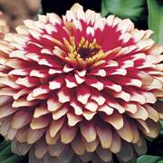 Swizzle™ Cherry and Ivory Zinnia Seeds image