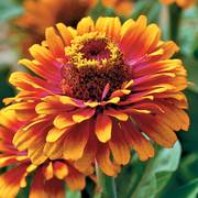 Zowie! Yellow Flame Zinnia Seeds image