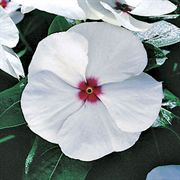 Pacifica Polka Dot Hybrid Vinca Seeds Alternate Image 1