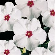 Pacifica Polka Dot Hybrid Vinca Flower Seeds image