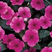 Pacifica Punch Hybrid Vinca Flower Seeds image