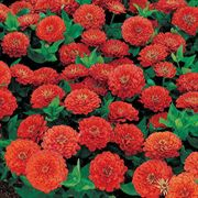 Dreamland Coral Hybrid Zinnia Seeds