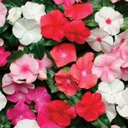 Pacifica Hybrid Mix Vinca Flower Seeds image