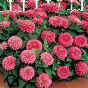 Dreamland™ Pink Hybrid Zinnia Seeds image