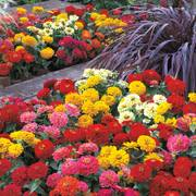 Dreamland™ Mix Hybrid Zinnia Seeds (P) Pkt of 25 seeds image