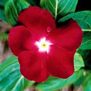 Jaio Dark Red Vinca Flower Seeds
