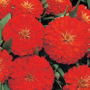 Dreamland Scarlet Hybrid Zinnia Seeds