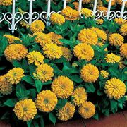 Dreamland™ Yellow Hybrid Zinnia Seeds image