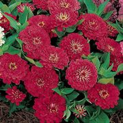 Dreamland Red Hybrid Zinnia Seeds