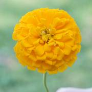 Park's Picks Yellow Zinnia Seeds image