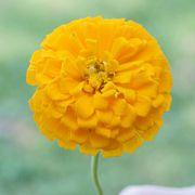 Park's Picks Yellow Zinnia Seeds image