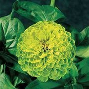 Envy Zinnia Seeds