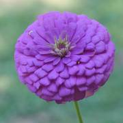 Park's Picks Lilac Zinnia Seeds image