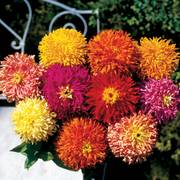 Giant Cactus Mix Zinnia Seeds Alternate Image 1