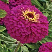 Uproar Rose Hybrid Zinnia Seeds image