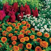 Swizzle™ Scarlet and Yellow Zinnia Seeds