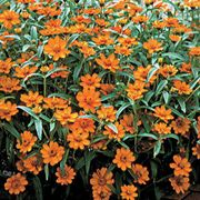 Crystal Orange Zinnia Seeds