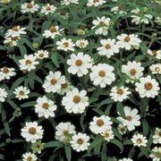 Crystal White Zinnia Seeds