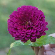 Park's Picks Purple Zinnia Seeds Alternate Image 1