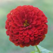 Park's Picks Deep Red Zinnia Seeds