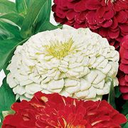 Parks Picks White Zinnia Seeds