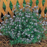 Blue Surprise Sweet Woodruff Seeds