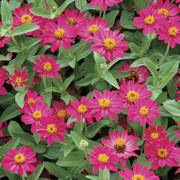 Profusion Cherry Zinnia Seeds image