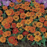 Profusion Orange Zinnia Seeds Alternate Image 1