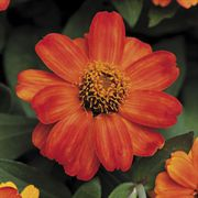Profusion Fire Zinnia Seeds
