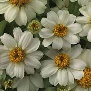 Profusion White Zinnia Seeds