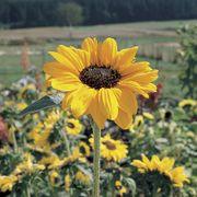 Soraya Sunflower Seeds
