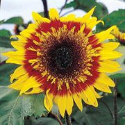 The Joker Sunflower Seeds