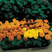 Janie Mix Marigold Seeds